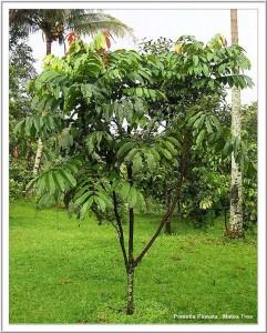 pohon-matoa